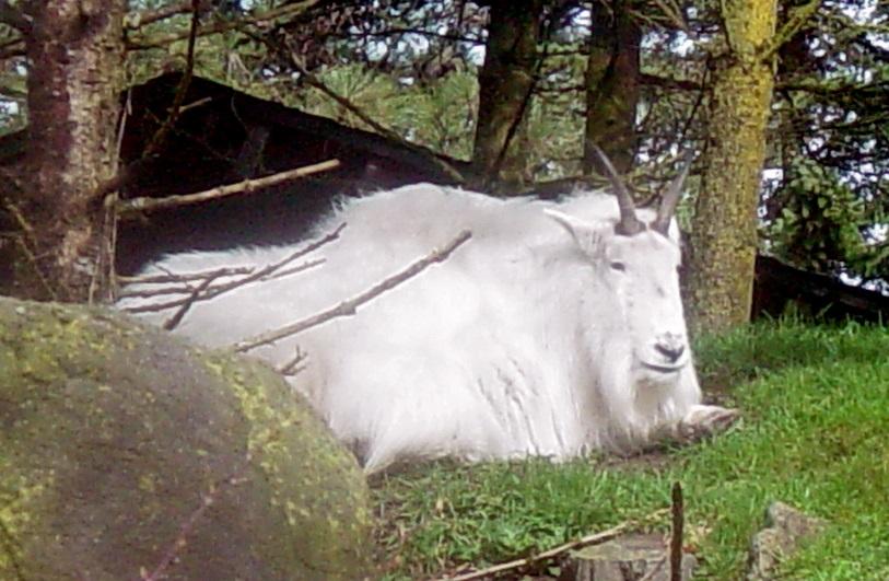Mountain Goat 007 by Elluka-brendmer