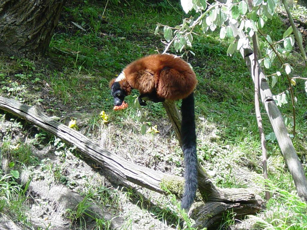 Red Ruffed lemur 002 by Elluka-brendmer