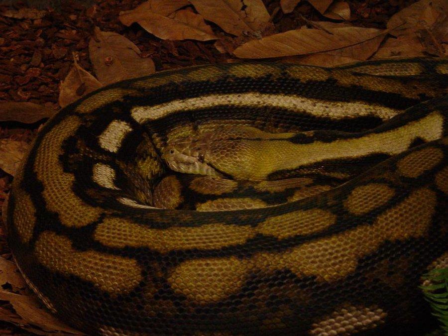 Reticulated Python 003 by Elluka-brendmer