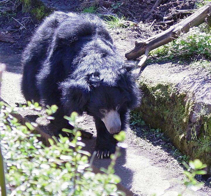 Sloth Bear 003 by Elluka-brendmer