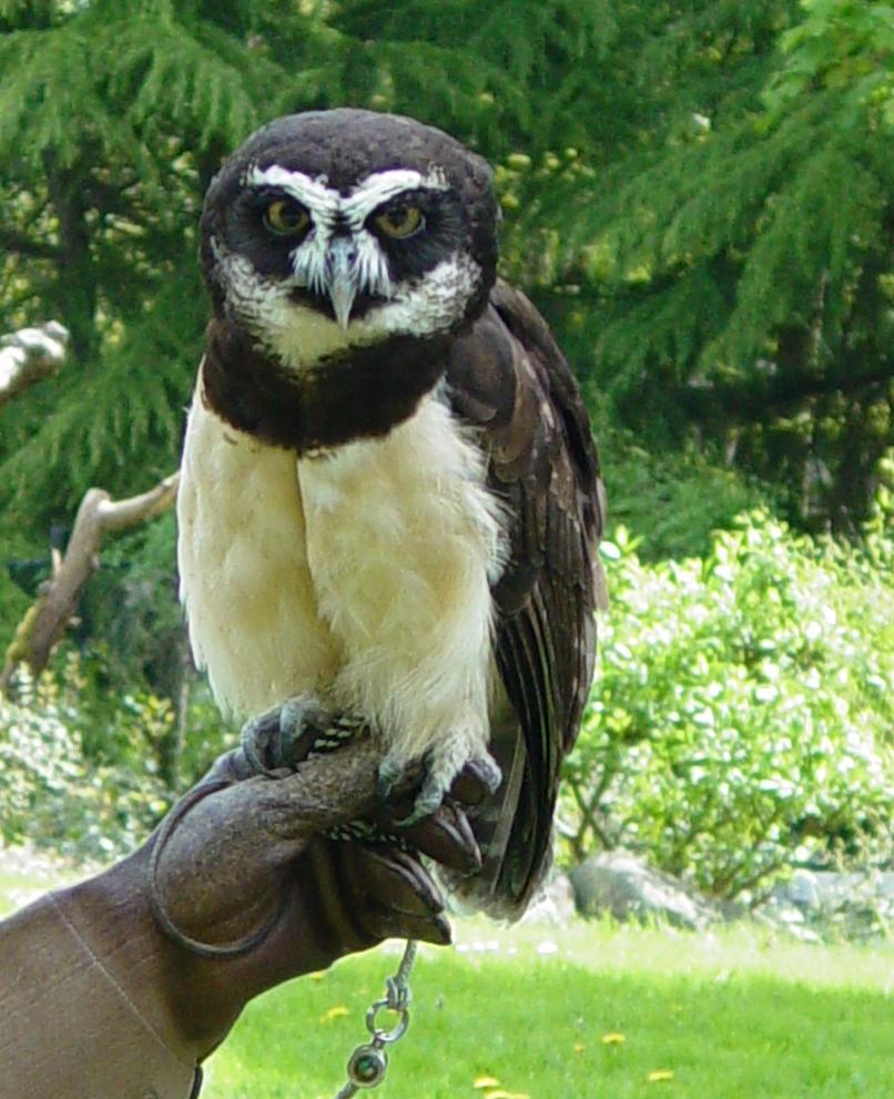 Spectacled Owl 002 by Elluka-brendmer