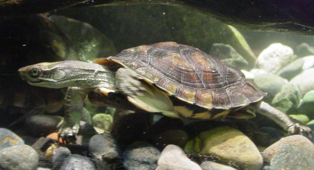 Western Pond Turtle 004 by Elluka-brendmer