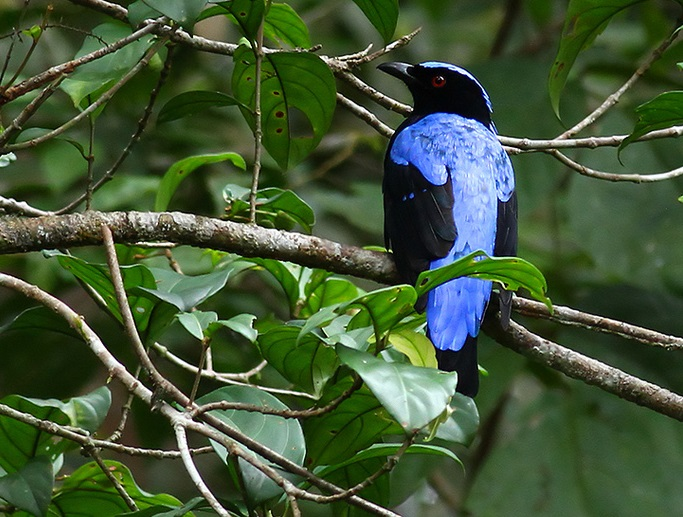 Asian Blue Fairy Bird 002 by Elluka-brendmer