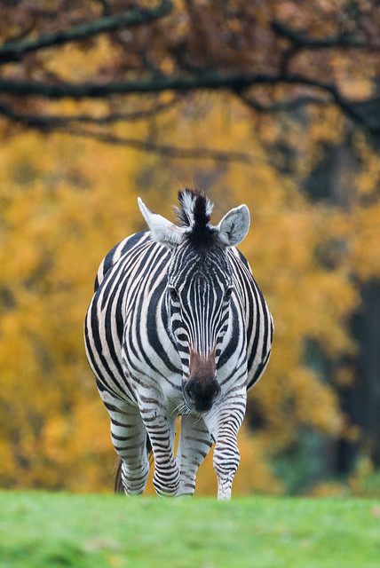 Zebra 004 by Elluka-brendmer