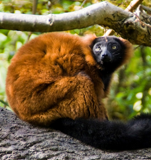 Red Ruffed Lemur 006 by Elluka-brendmer