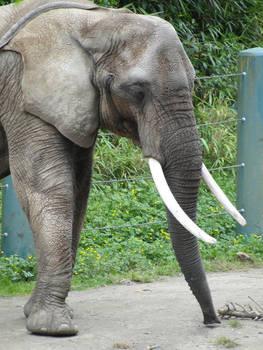 African Elephant 008