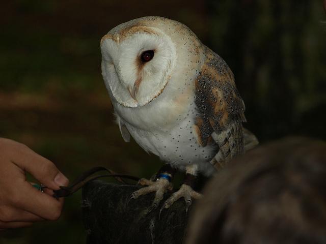Barn Owl 003 by Elluka-brendmer