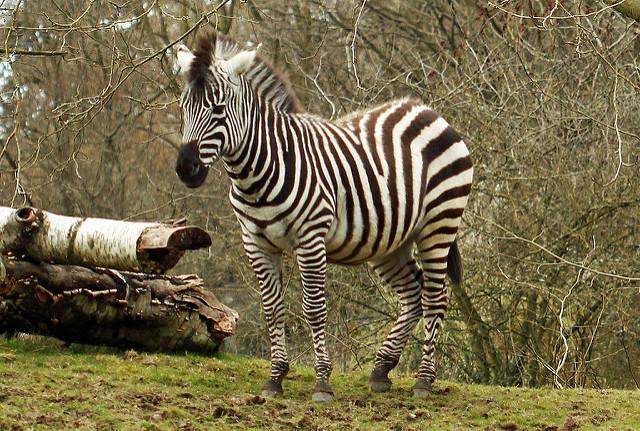Zebra 005 by Elluka-brendmer