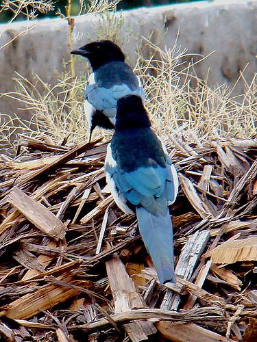 Black Billed magpie 001 by Elluka-brendmer