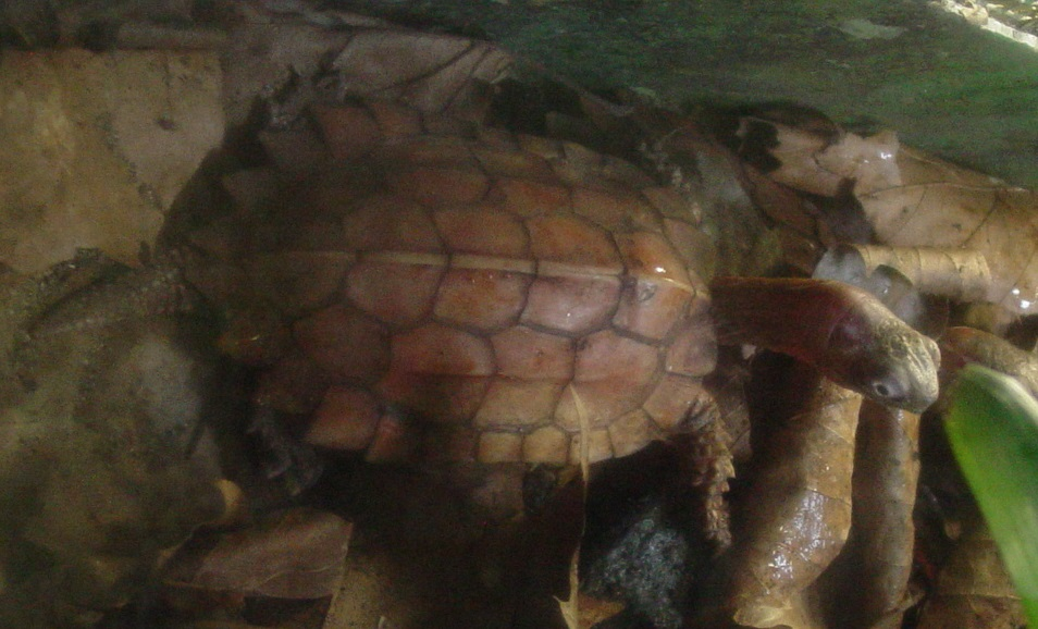 Black-breasted Leaf Turtle 002 by Elluka-brendmer