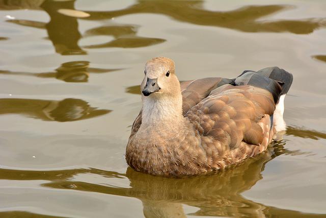 Blue-Winged Goose 002 by Elluka-brendmer