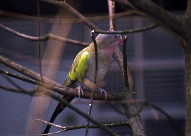 Princess of Wales parrot 001 by Elluka-brendmer