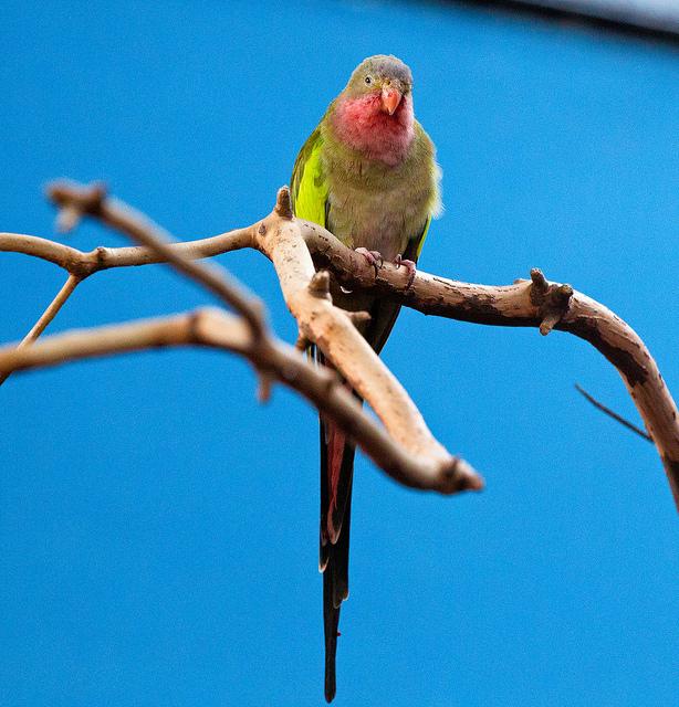 Princess of Wales parrot 003 by Elluka-brendmer