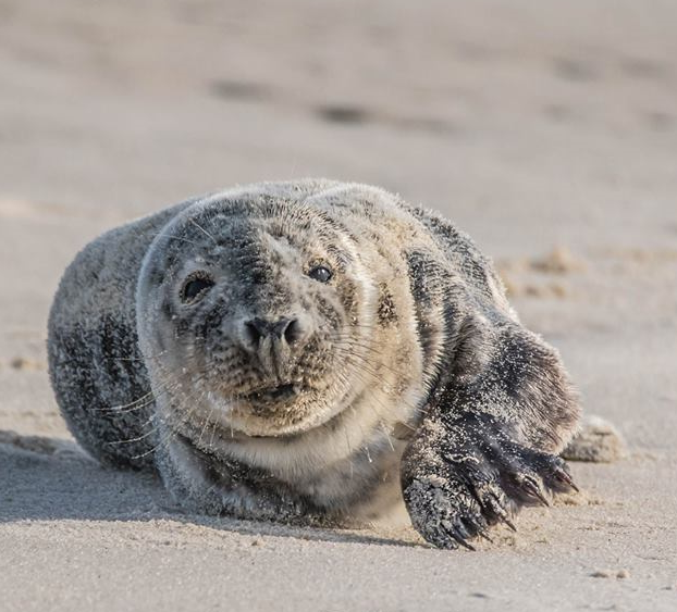 Grey Seal 006 by Elluka-brendmer