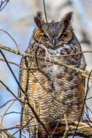 Great Horned Owl 005 by Elluka-brendmer