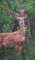 White tail deer 035 by Elluka-brendmer