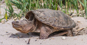 Snapping Turtle 006 by Elluka-brendmer