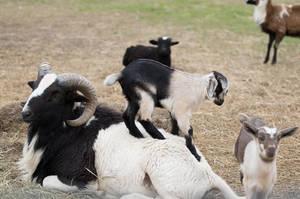 Goats by Elluka-brendmer