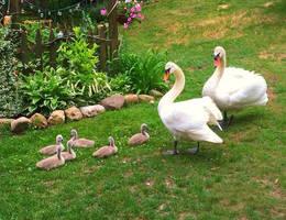Tundra Swans and chicks by Elluka-brendmer
