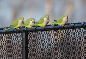 Monk Parakeets by Elluka-brendmer