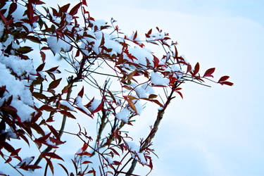 Red leaves on white snow...
