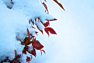 Red leaves on white snow two..