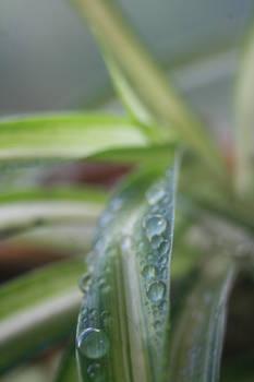 Macro : Spider-plant