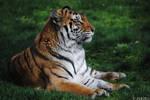Tiger Stare.