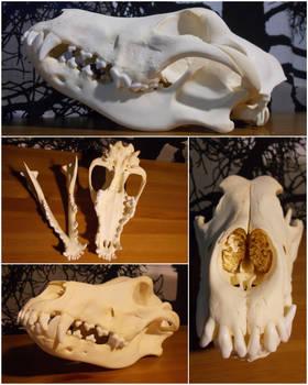 Irish Wolfhound skull