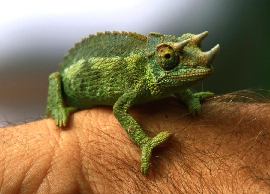 Male jackson chameleon - photo#5
