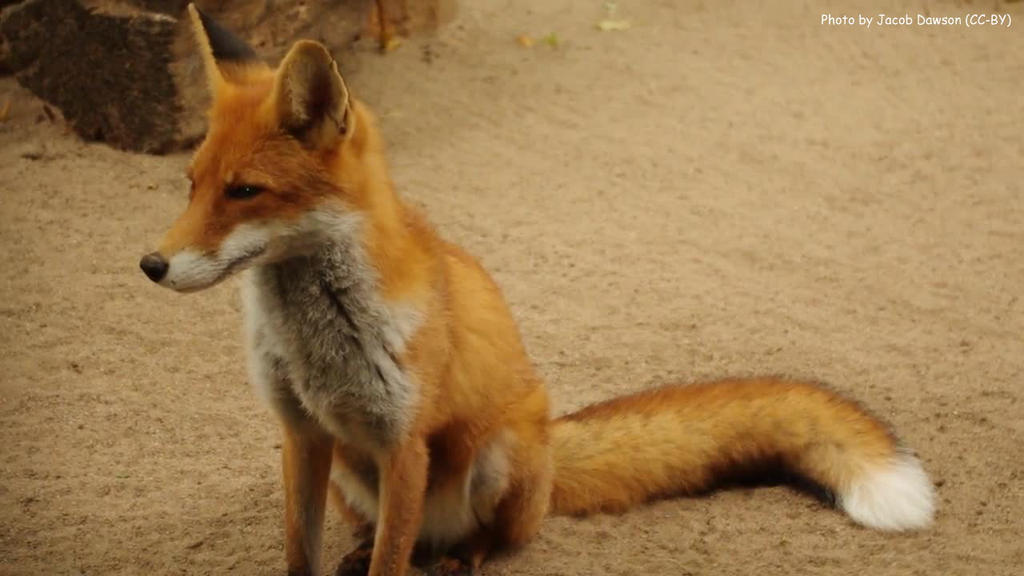 Foxie Photo 03 by B-JacobDawson