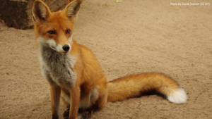 Foxie Photo 04 by B-JacobDawson