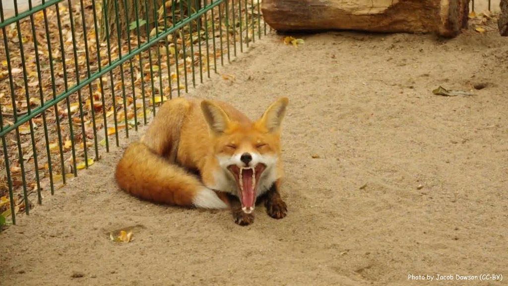 Foxy Yawn by B-JacobDawson