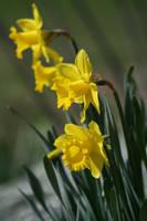 Daffodils Stock Photo by AliDee33