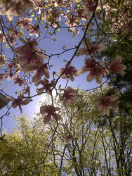 Magnolia Tree Stock Photo 1 by AliDee33