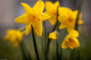 Spring Daffodils by AliDee33