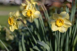 Morning Daffodils by AliDee33