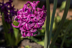 Sunlit Hyacinth by AliDee33