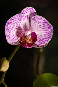 Happy Orchid Bloom