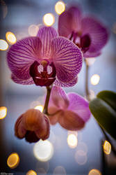 Orchid Flowers and Bokeh