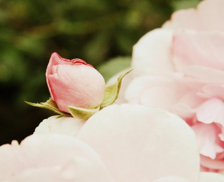 Little rose. by martawolowiec