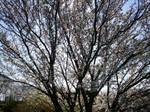 Cherry Blossom-23