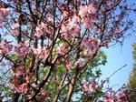 Cherry Blossom-25