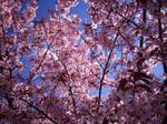 Cherry Blossom-47