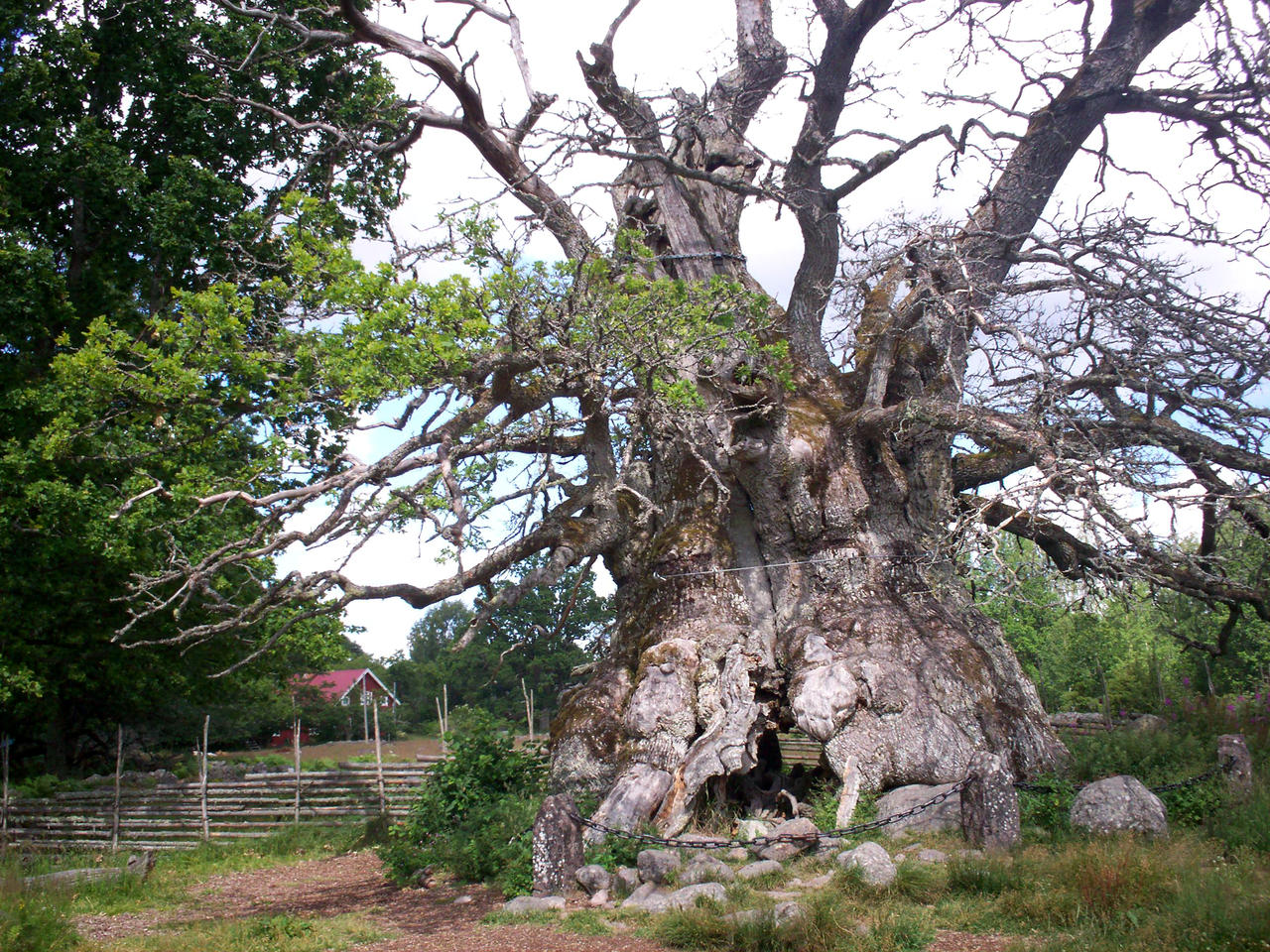 The Rumskulla Oak-1