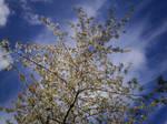 Cherry Blossom-55