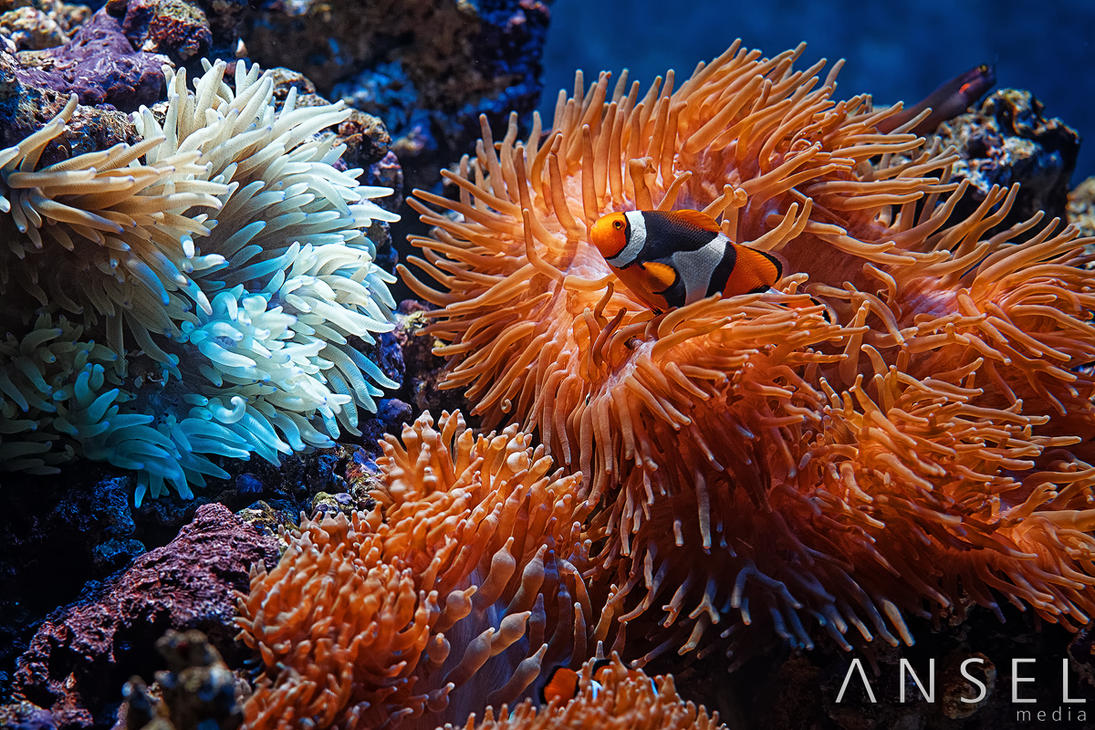 Clown Fish by Draken413o