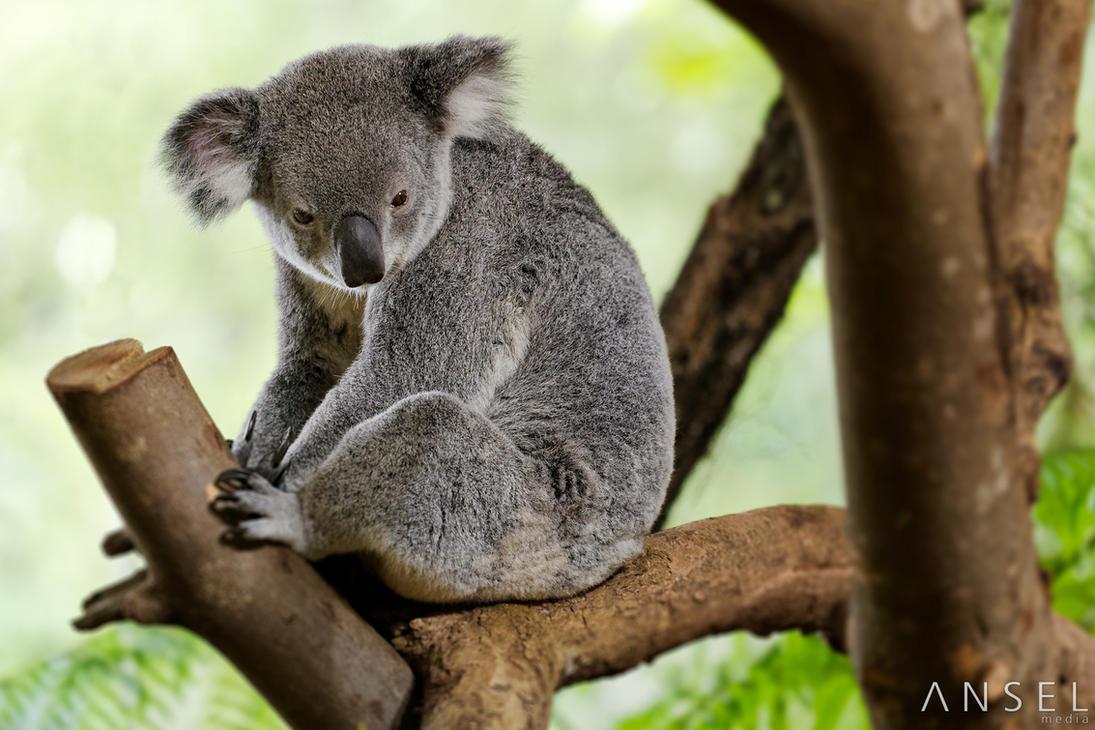 Koala by Draken413o