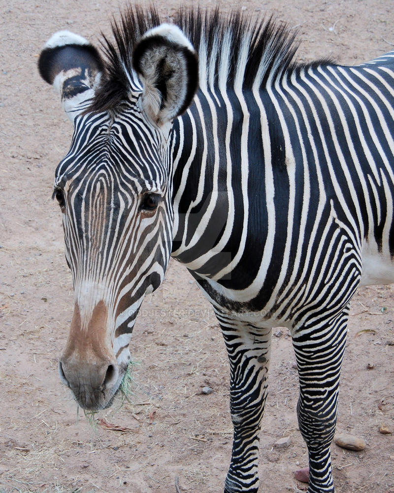 Zebra head by oddjester