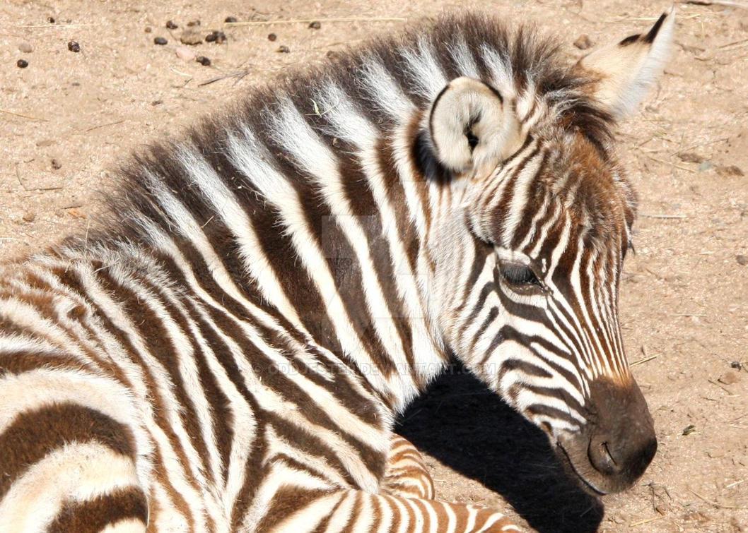 Baby Zebra by oddjester
